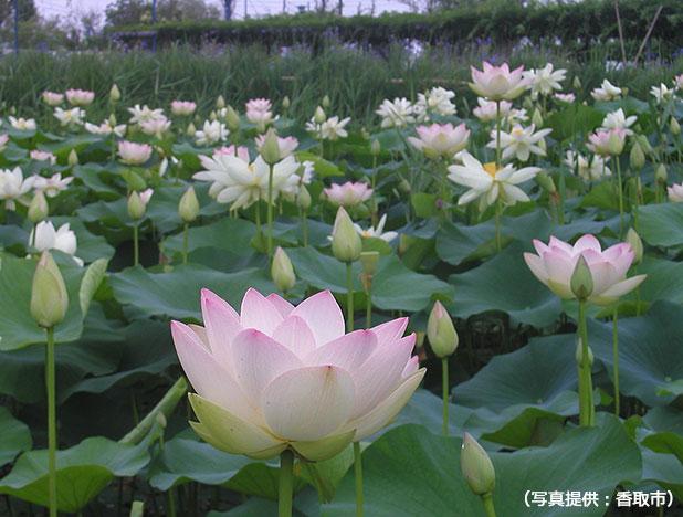 水郷佐原水生植物園のはすの花