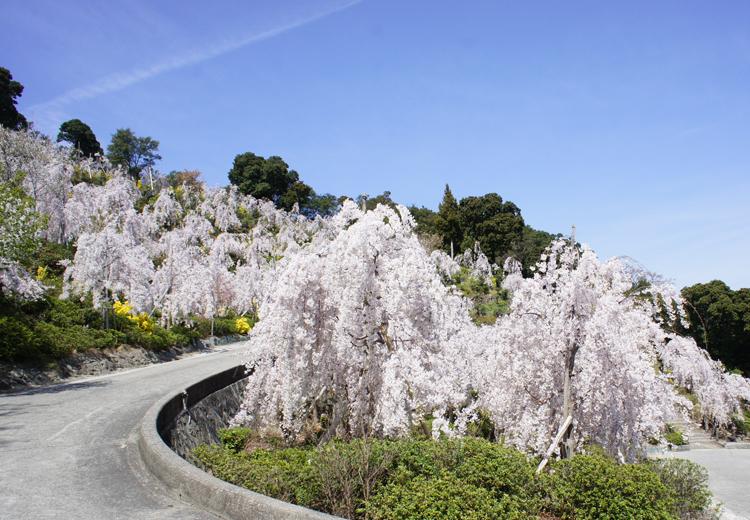 徳島花見山