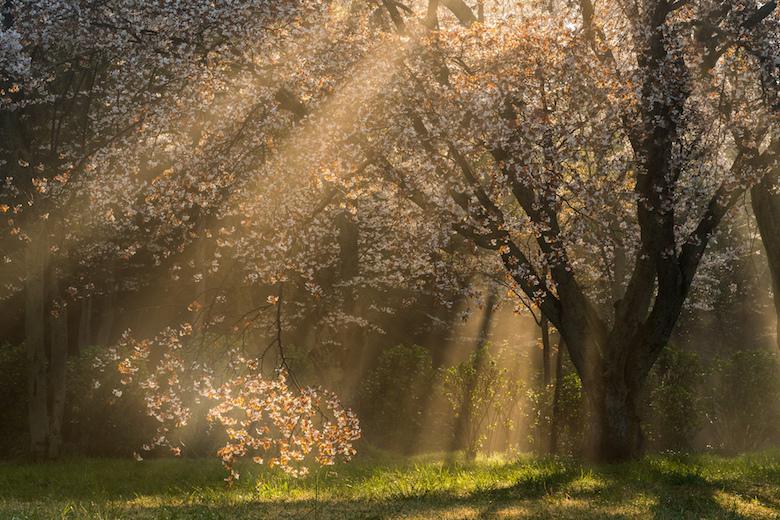 紫雲出山の桜の木