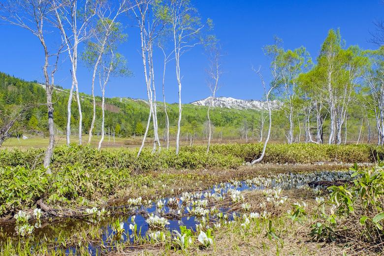尾瀬ヶ原の水芭蕉と白樺